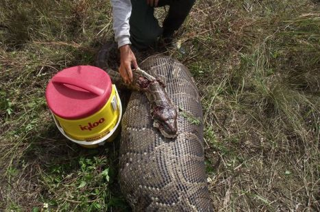 Pythons Eating Through Everglades Mammals at